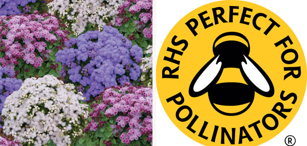 Ageratum houstonianum 'Pincushion Mixed' & Perfect for Pollinators