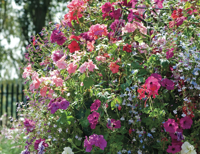 Nurserymans Choice Hanging Basket Mixed Collection from T&M