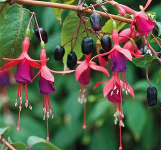 Fuchsia Berry