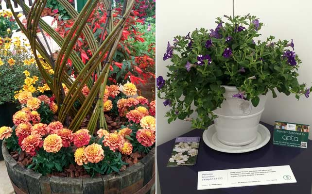 Marigold 'Strawberry Blonde' and Petunia 'Night Sky'