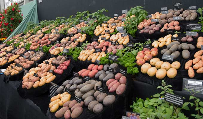 potatoes-chelsea-2