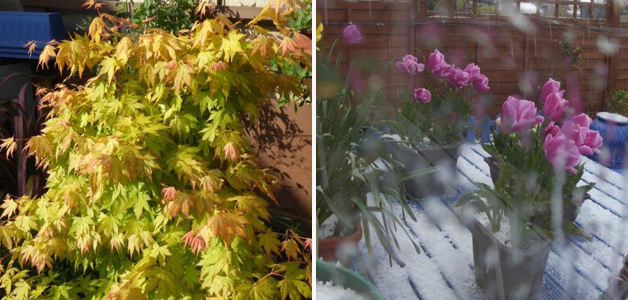 Acer & tulips in the snow