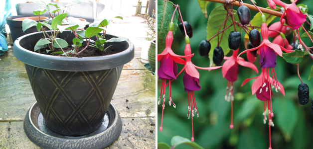 Fully Potted Up Fuchsia FUCHSIABERRY & Fully Grown Fuchsia FUCHSIABERRY