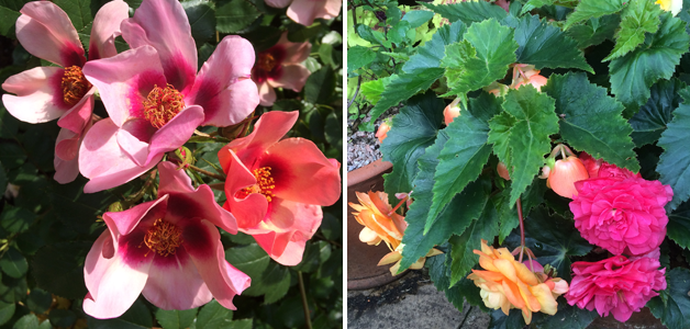 Rose 'For Your Eyes Only' & selection of begonias