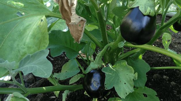 Aubergine plant
