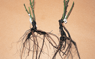 Bare roots plants and how to receive them!