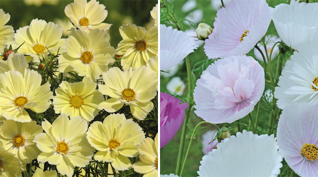 Cosmos 'Xanthos' and Cosmos 'Cupcakes'