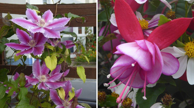 Clematis' 3rd flowering of the season & unnamed trial fuchsia