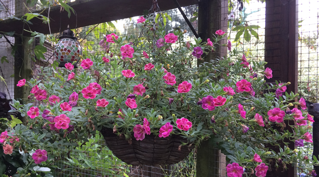 Hanging baskets just keep on going!