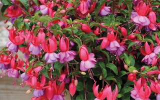 Fabulous fuchsia tipped for success in 2017