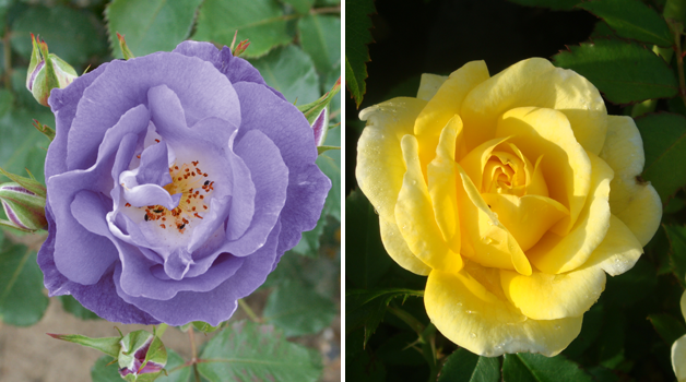 Rose floribunda 'Blue For You' & Rose 'Easy Elegance - Yellow Brick' Shrub Rose
