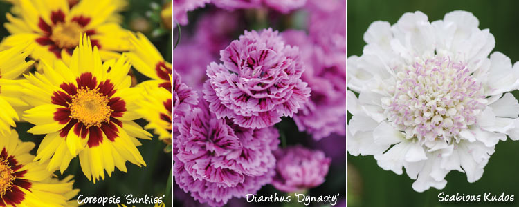 coreopsis sunkiss, dianthus dynasty and alstromeria Sndian summer
