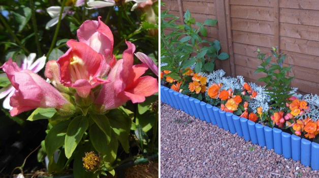 Unnamed trailing antirrhinum trialled & Begonia 'Apricot Shades'
