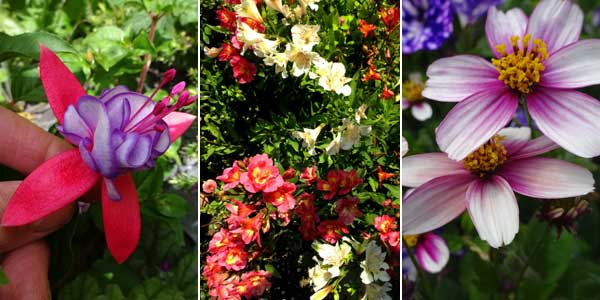 Fuchsia 'Icing Sugar' Alstroemeria 'Everest Collection', Bidens 'Firelight'