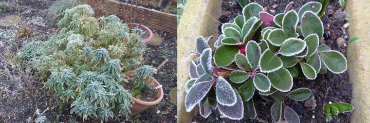 frosted plants february