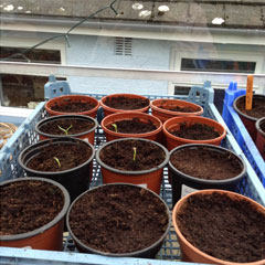 peppers sown in pots