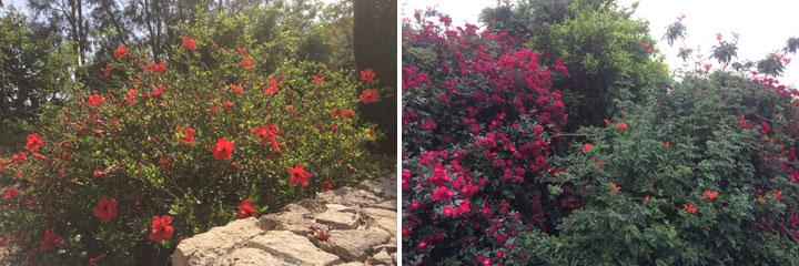 cyprus exotic hedges hibiscus