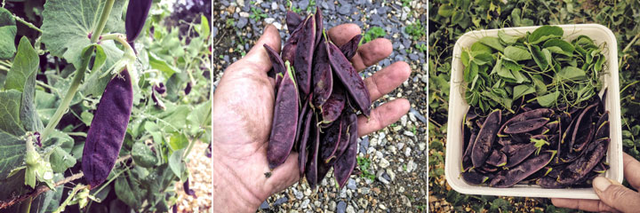 shiraz peas harvest