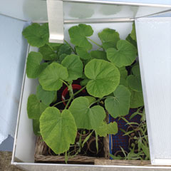 pumpkins growing in coldframe june 2017