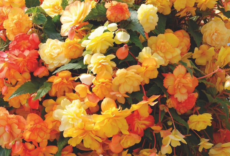 Begonia x tuberhybrida 'Apricot Shades Improved' F1 Hybrid