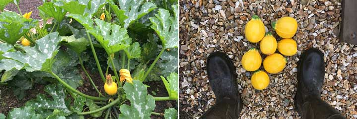 The Three C's – courgettes, cucumbers and cucamelons!