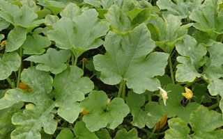 Pumpkin update: Tackling Powdery Mildew on Pumpkins.
