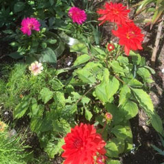 trial dahlias - summer 2017