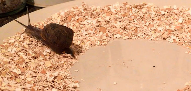 eggshells don't deter snails