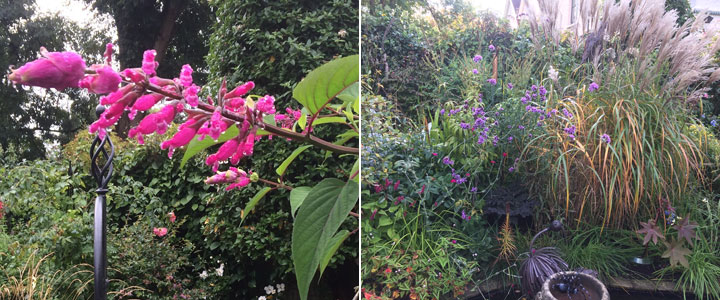 7ft salvia and grasses - september 2017