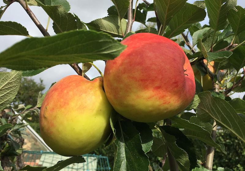 cynical gardener's apple crop