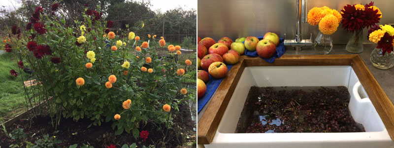 Carloine's dahlias, apples and grapes - Autumn 2017