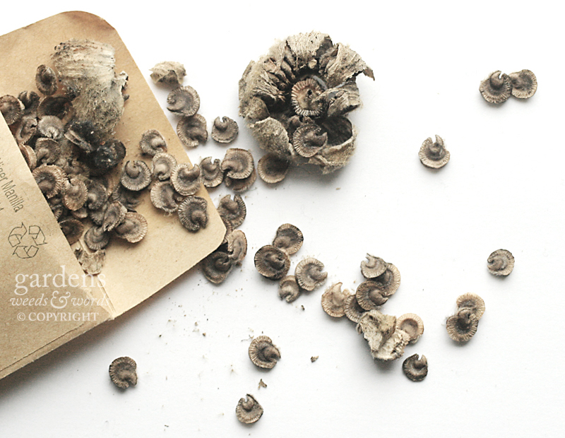 hollyhock seeds from gardens weeds and words