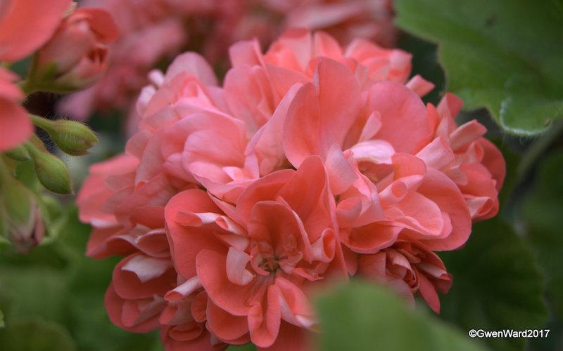 perfect pelargoniums mimi