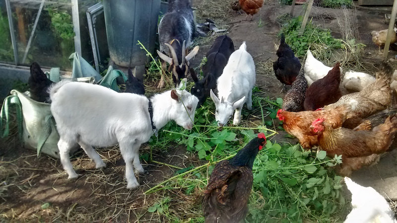 self sufficient goats eating weeds