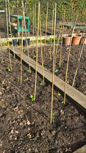 broad beans planted out