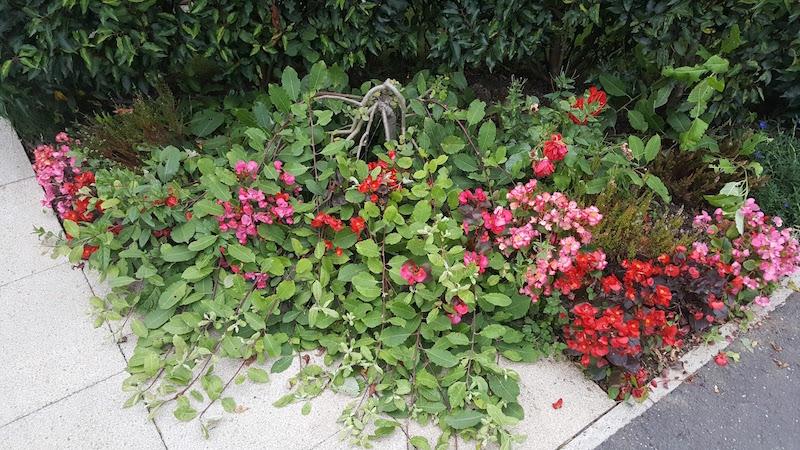 rachel the gardener salix kilmarnock