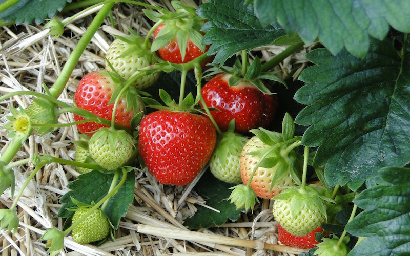 strawberry plant with ripening fruit