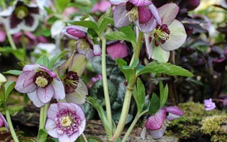 Heavenly Hellebores – Thompson & Morgan World Exclusive