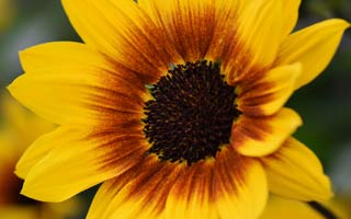 It's Sunbelievable! World exclusive new sunflower from our own breeding programme