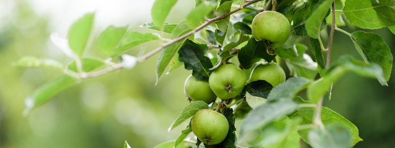 apple tree - pruning blog