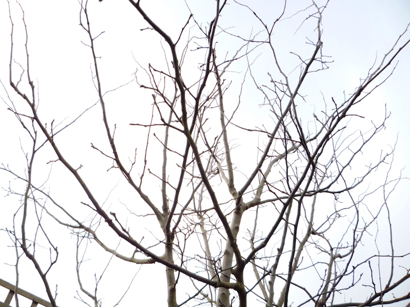 pulling weeds cydonia pruning