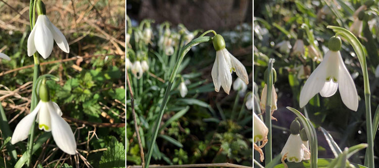 Snowdrops in the graveyard