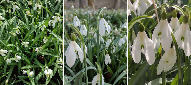 More snowdrops out and about!