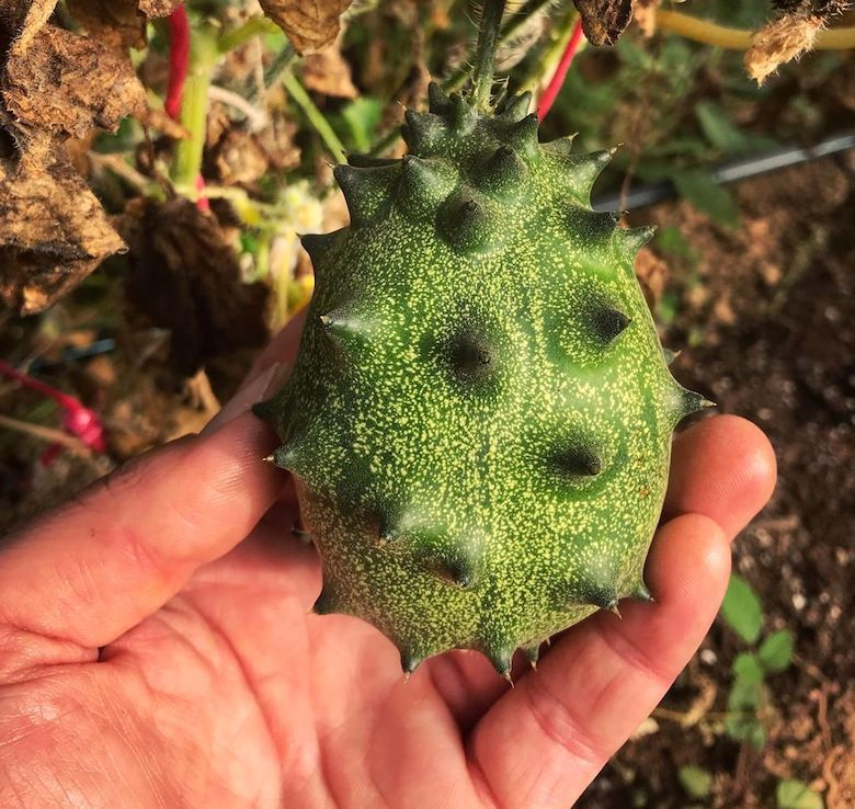 A horned melon closeup from Sam at The Hairy Horticulturalist