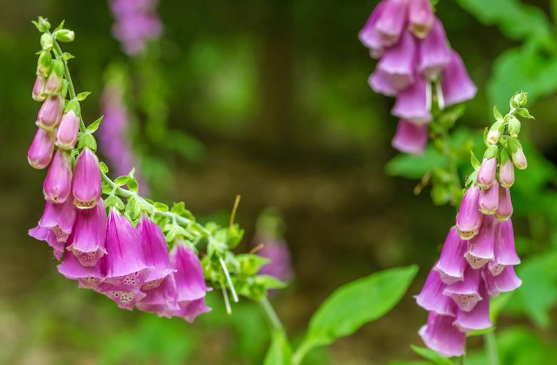 foxgloves-in-garden