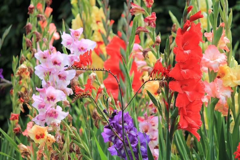 gladioli providing colour