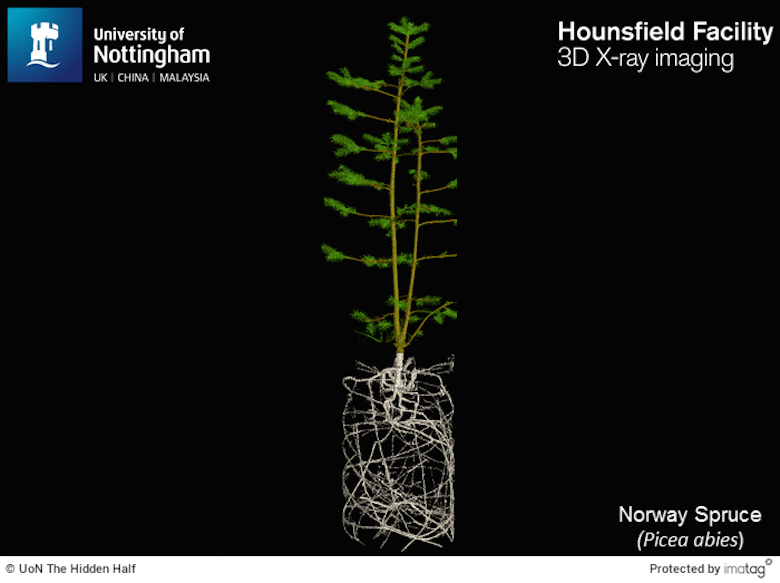 full picture of a norway spruce including roots and stem