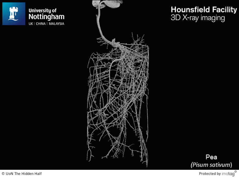 full diagram of a pea plants roots