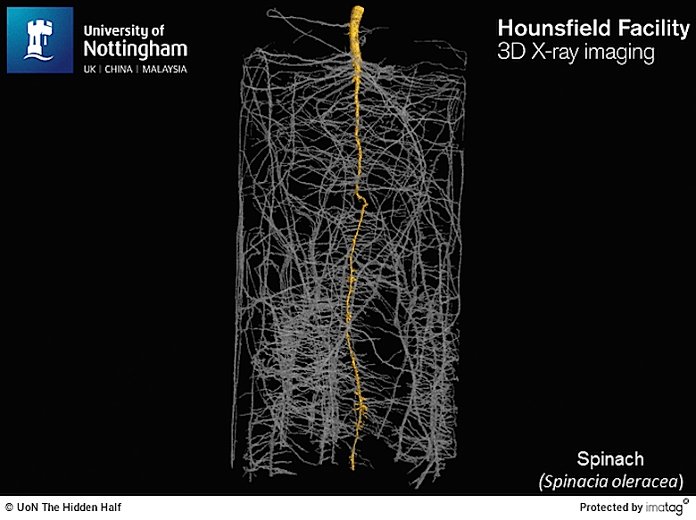 spinach root structure with main tap root highlighted