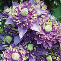 Clematis florida 'Taiga' by Thompson & Morgan - available to buy now